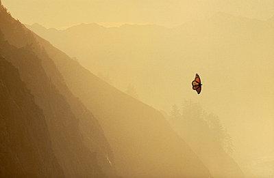 Monarch butterfly in flight, Danaus plexippus, Big Sur, California - p1100m875015 by Frans Lanting