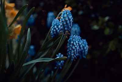 Blue grape hyacinth - p301m2213648 by Norman Posselt