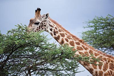 Giraffe - p842m939593 by Renée Del Missier