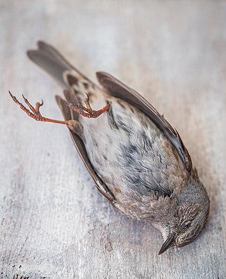 Dead bird - p971m1425431 by Reilika Landen