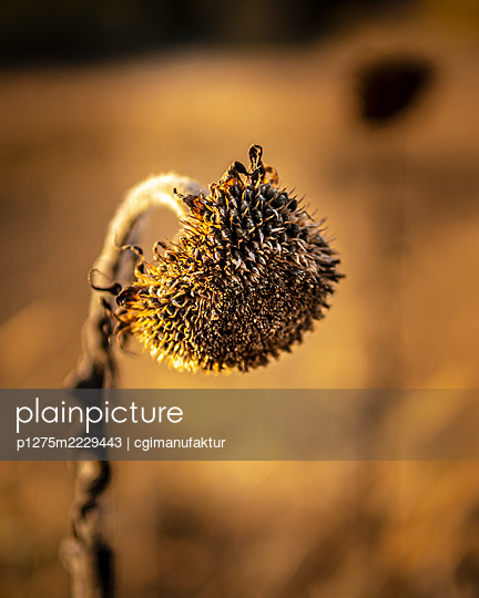 Germany, Bavaria, Franconia, Dried up sunflower - p1275m2229443 by cgimanufaktur