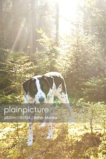 Dalmatiner Mischling im Gegenlicht - p533m1182324 von Böhm Monika