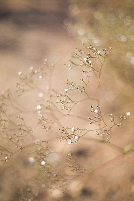 Zarte Blüten vom Schleierkraut - p1325m1222669 von Antje Solveig