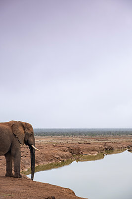 African Elephant - p1655m2233652 by lindsay basson