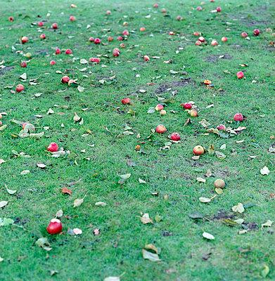 Rote Äpfel am Boden - p3880354 von Ulrike Leyens