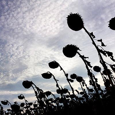 Field of sunflowers in backlight II - p813m883242 by B.Jaubert