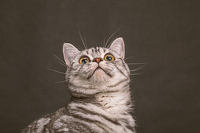 Studio portrait of Scottish Fold kitten - p924m1446945 by Celeste Martearena