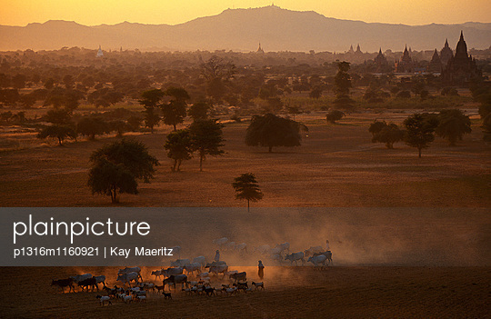 Viehherde im trockenen Februar auf der Ebene von Bagan, Pagan, Myanmar, Burma, Asien - p1316m1160921 von Kay Maeritz