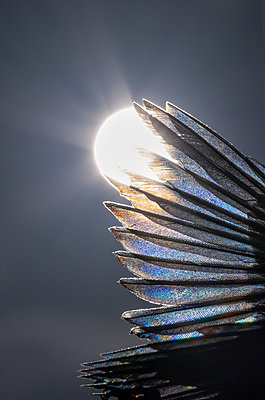 Bird wing backlit by the sun - p1057m2099903 by Stephen Shepherd
