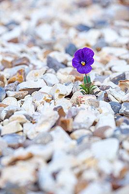 Tiny purple flower growing in gravel - p1057m2209329 by Stephen Shepherd