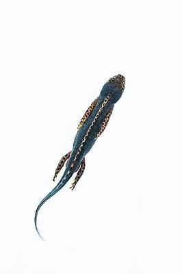 Alpine newt, Ichthyosaura alpestris - p1437m2052901 by Achim Bunz