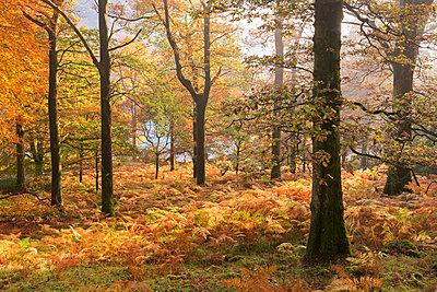 Colourful deciduous woodland with autumnal colours, Lake District, Cumbria, England, United Kingdom, Europe - p871m1118657 by Adam Burton
