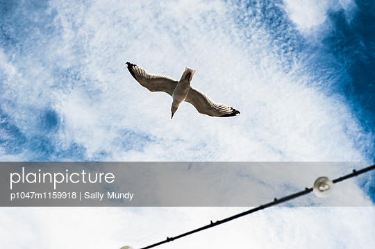 Single gull flying above a string of fairy lights by the seaside  - p1047m1159918 by Sally Mundy