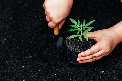 Cultivating fertilizing seedling, marijuana Earth Day is environ - p1166m2137849 by Cavan Images