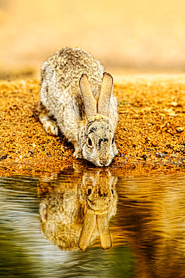 A rabbit drinks from the edge of a pond, Elephant Head; Arizona, United States of America - p442m2019714 by Its About Light