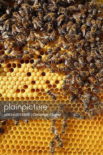 Bienen auf Brutwabe - p061m2015360 von Christoph Ebener