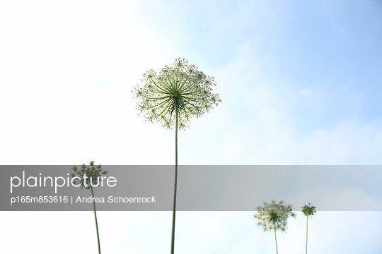 Wilde Möhre - p165m853616 von Andrea Schoenrock