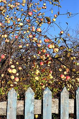 Apple tree  - p1063m2045327 by Ekaterina Vasilyeva