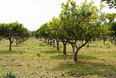 Lemon trees (Citrus _ limon) bearing ripe lemons, near Lloseta, Mallorca, Spain - p1316m1422609 by Daniel Schoenen