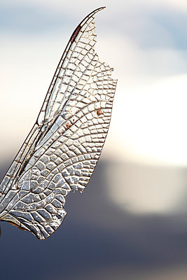 Injured dragonfly wing - p235m945927 by KuS