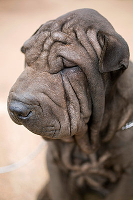 Portrait of a Shar-Pei dog, close-up - p30119654f by Tobias Titz