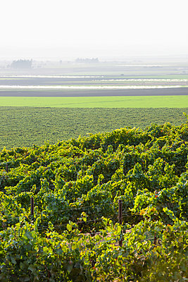 Grapevines (Vitis) on a hillside with fog over the farm fields in the distance; Gonzales, California, United States of America - p442m2091773 by Robert J. Polett