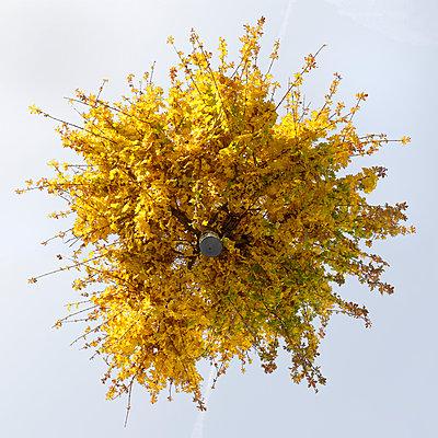 Maple tree from below - p824m2116916 by jochen leisinger