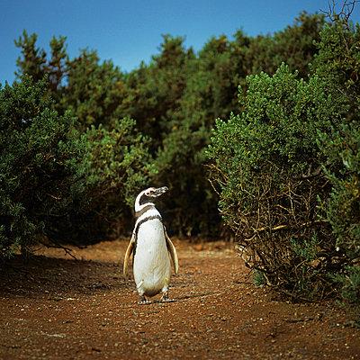 Magellanic Penguin - p8440080 by Markus Renner