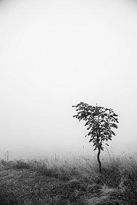 Baum im Nebel - p992m1194562 von Carmen Spitznagel