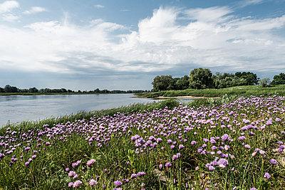 Rosa blühende Wiese am Flussufer - p354m1467157 von Andreas Süss