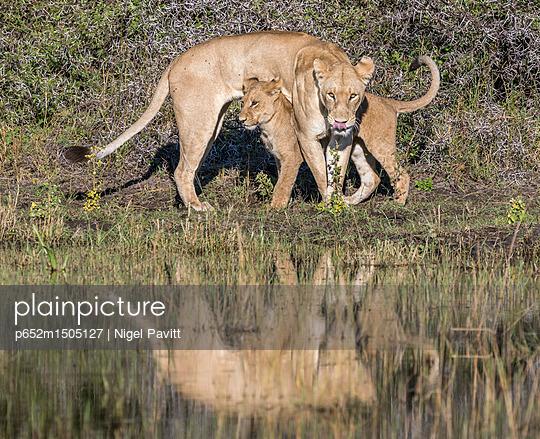 Botswana, Chief s Island, Okavango Delta. A lioness and her cub beside a swamp. - p652m1505127 by Nigel Pavitt
