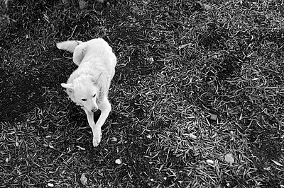 White dog lying on leafy ground - p1072m829250 by Neville Mountford-Hoare