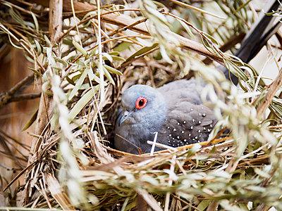 Diamond dove (Geopelia cuneata) in nest - p1427m1504570 by WalkerPod Images