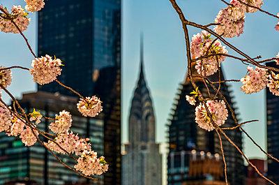 Cherry blossoms (Kwanzan Prunus Serrulata) and the Chrysler Building; New York City, New York, United States of America - p442m2154877 by F. M. Kearney