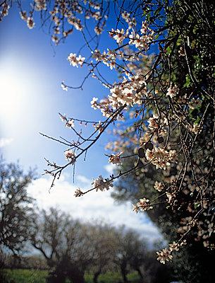 Mandelblüten, Mallorca im Winter - p885m1087430 von Oliver Brenneisen