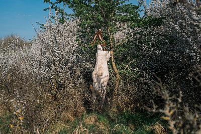 Ziege auf den Hinterbeinen beim Fressen an einem Baum - p1437m1584876 von Achim Bunz