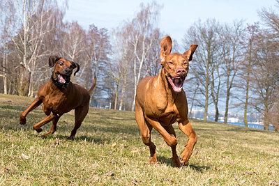 Hunde toben - p739m1123395 von Baertels