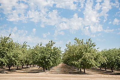 Row of almond trees growing on field against cloudy sky - p1166m1544461 by Cavan Social