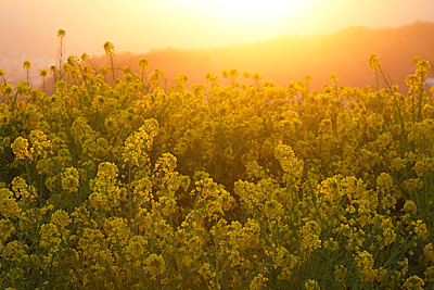 Rapeseed flowers in the sun, Kanagawa Prefecture, Japan - p307m1535070 by Tetsuya Tanooka