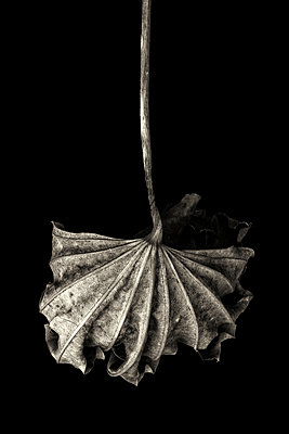 Withered leaf on black background - p977m1159472 by Sandrine Pic