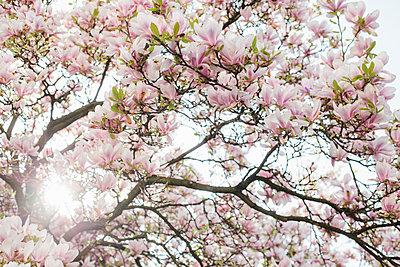 Blühender Magnolienbaum - p586m1068009 von Kniel Synnatzschke