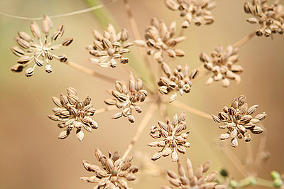 Fennel seeds - p8850006 by Oliver Brenneisen