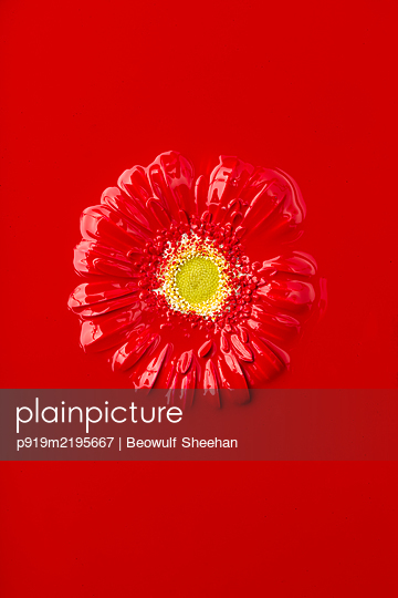 Red painted Gerbera in front of red backgrof - p919m2195667 by Beowulf Sheehan