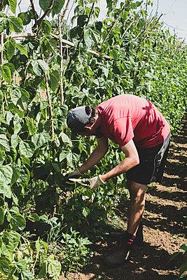 Farmer harvesting runner beans. - p1100m2271477 by Mint Images
