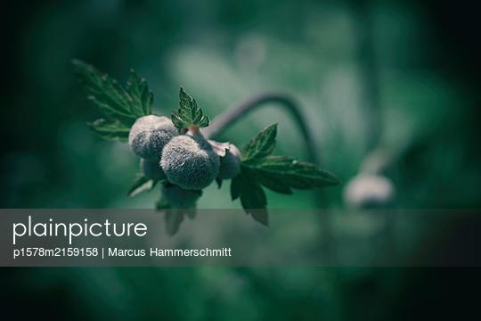Vor der Blüte - p1578m2159158 von Marcus Hammerschmitt
