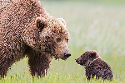 USA, Alaska, Lake Clark National Park and Preserve, Brown bear with cubs - p300m911250f by Fotofeeling