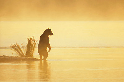 Grizzly Bear on landspit in early morning haze - p884m864561 by Matthias Breiter