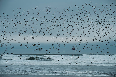 Sandpipers on the Oregon Coast - p1262m1191169 by Maryanne Gobble