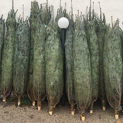 Weihnachtsbäume - p1401m2143119 von Jens Goldbeck