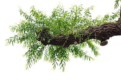 Zweig einer alten Kopfweide for weißem Himmel - p235m2160823 von KuS